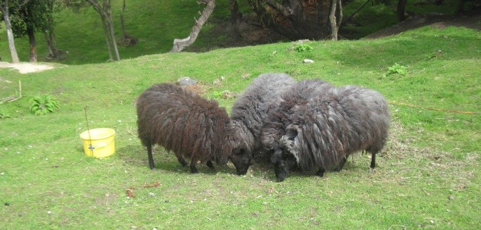 The four Scottish   Gotland sheep