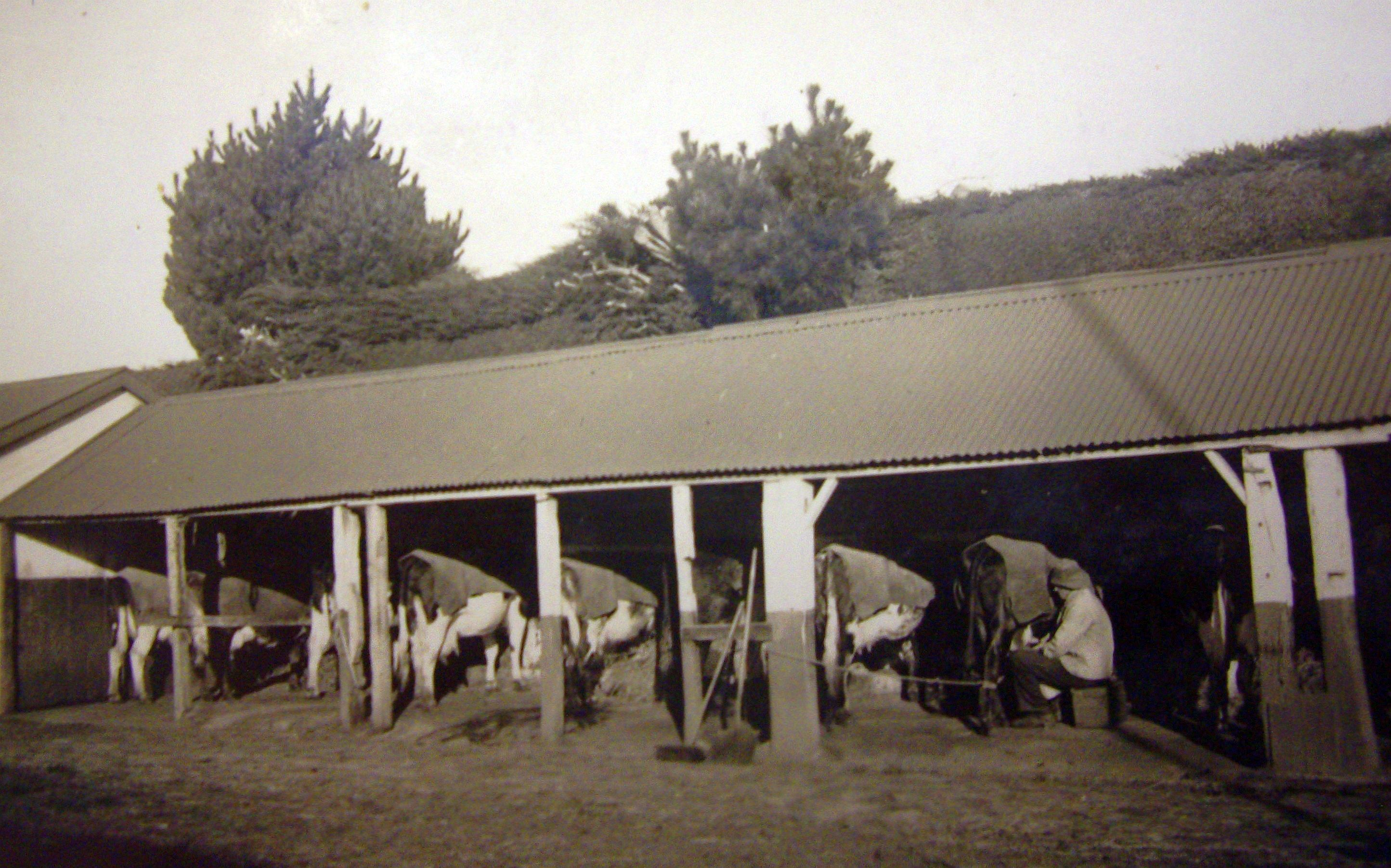 View of an open  cowshed with someone milking a cow.