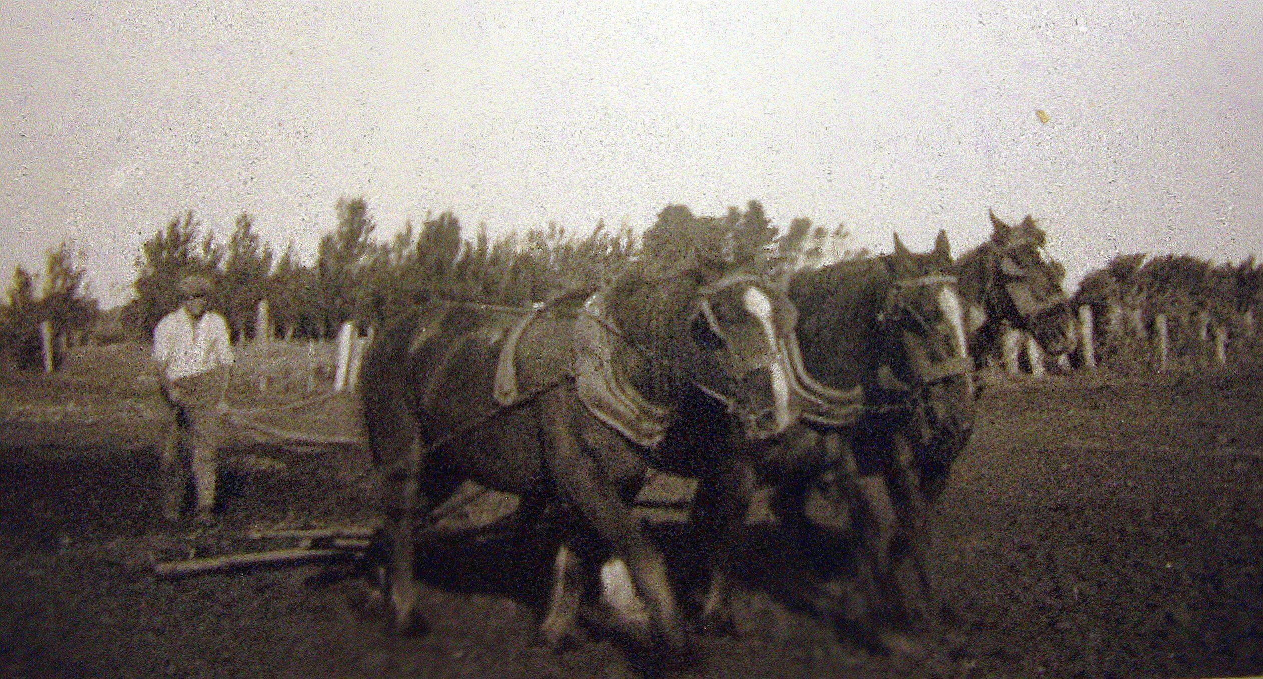 Farmer driving  three horses in a paddock