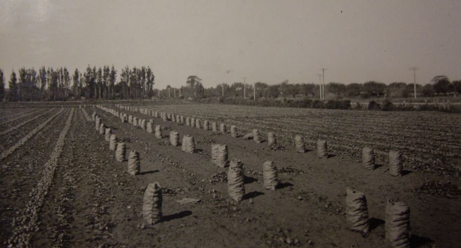 A field of  onions in neat rows