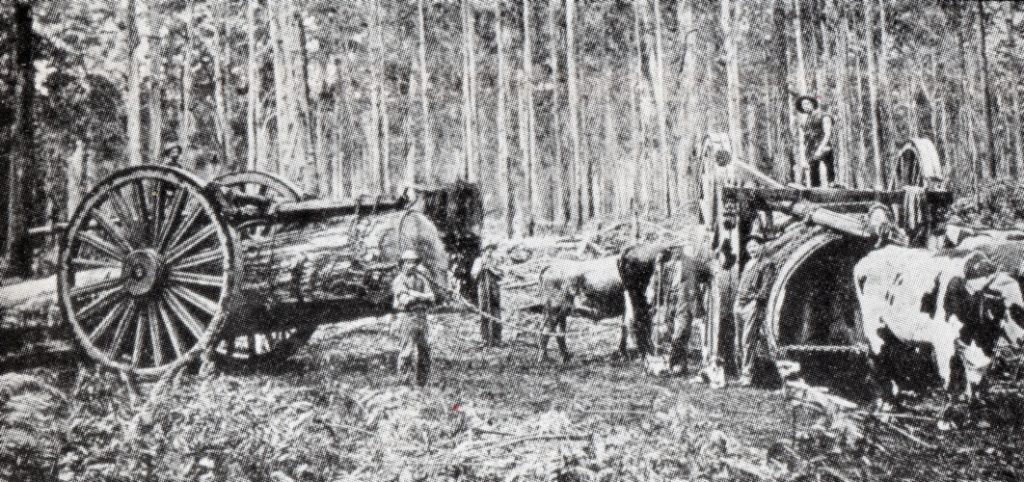 Against a background of trees, in the foreground are contraptions with wheels one and a half times the height of a man in the photograph. The left hand side of the photograph shows one log in the junker, and on the right, a bull seems to be pulling another one towards the camera.